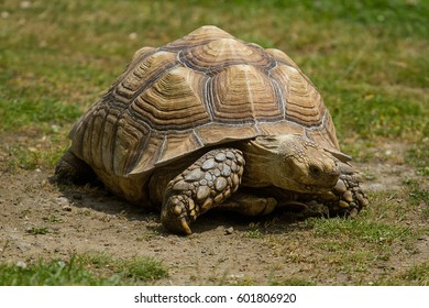 photo of a Spur-thighed tortoise walking in the sunshie