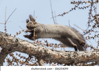 photo of squirrel jumping between branches of larch