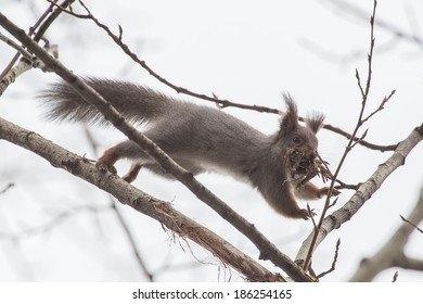photo of squirrel jumping between branches of tree with bunch of liber in teeth