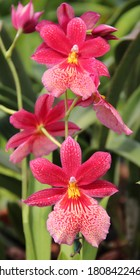 A photo of a striking red orchid hybrid, known as Burrageara (Latin name) Nelly Isler.
