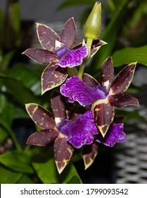 A photo of a stunning purple orchid hybrid, known as Zygopetalum (Latin name) Advance Australia.