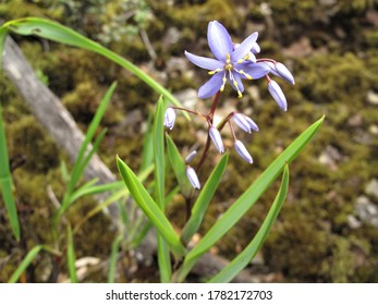 Photo of Stypandra glauca flower or Nodding Blue Lily in the jungle