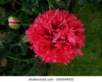 Photo taken above an opened red opium poppy
