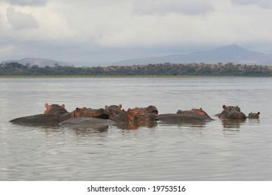 photo taken in a kenyan lake of hippos