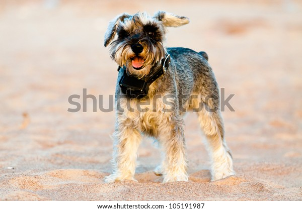 Photo of terrier with GPS collar