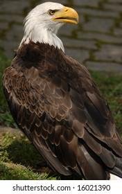 Photo of tethered Bald Eagle