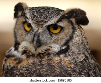 Photo of tethered Great Horned Owl