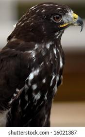 Photo of tethered Harlans Hawk