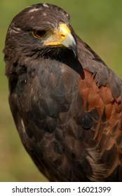 Photo of tethered Harris Hawk