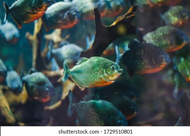 Photo through glass, observing piranha fish in their natural habitat. Piaractus brachypomus and Colossoma macropomum in water. Soft focus, underwater photography.