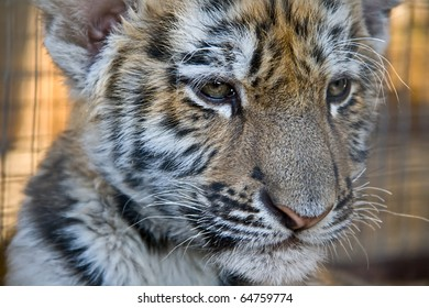 Photo of a tiger close up