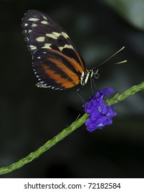 Photo of a Tiger Longwing Butterfly of the Nymphalidae family, native throughout Mexico to the Peruvian Amazon.