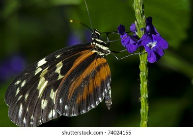 Photo of a Tiger Longwing Butterfly of the Nymphalidae family. Found through Mexico and the Peruvian Amazon.