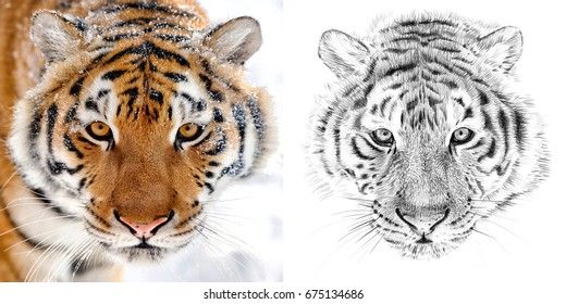 Photo of a tiger portrait and portrait drawn with a pencil