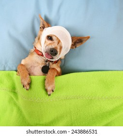 a photo of a tiny cute chihuahua with a bandage on his head in bed