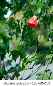 A photo I took hoto of a red Rose budding in a park in downtown Ottawa, ON, CAN.