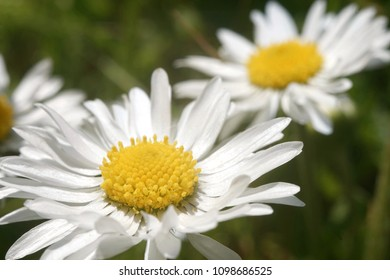 Little yellow ball flowers images stock photos vectors shutterstock photo with two beautiful daisies flowers have white leaves and gold centers consist of mightylinksfo