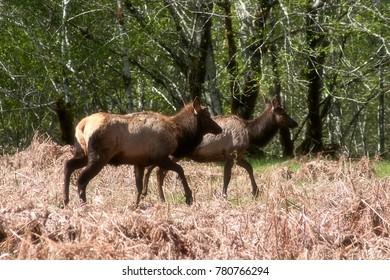 Photo of two Roosevelt Elk shot near Lake Quinault, Washington.