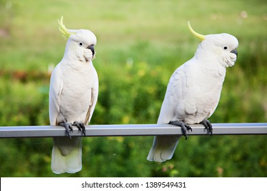 A photo of two Sulphur-Crested Cockatoo birds on a blurred green bush/forest background. The Sulphur-Crested Cockatoo is a large cockatoo found in Australia, New Guinea, and Indonesia.