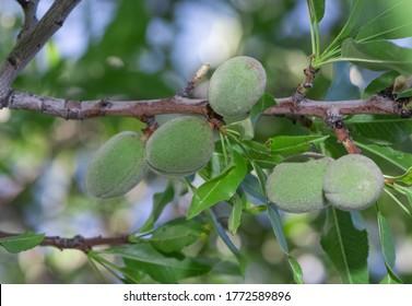 photo of unripe almonds on tree