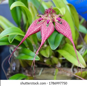 A photo of an unusual red orchid species, known as Bulbophyllum rothschildianum (Latin name).