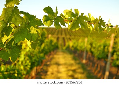 Photo vine leaves in the background view on vineyard through the fresh leaves of trees