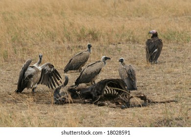 a photo of vultures around a kill in africa