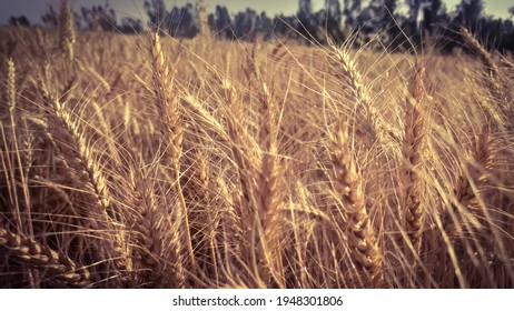 Photo of Wheat field background for vaisakhi.