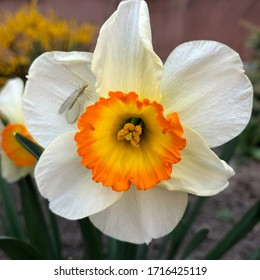Photo of white flowers narcissus. Stock photo Background Daffodil narcissus with white buds and green leaves.
