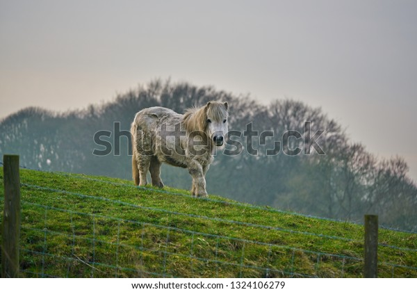 Photo of a white Shetland pony looking down from a grassy hill towards camera