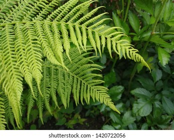 Photo of wide bright green fern fronds overlapping