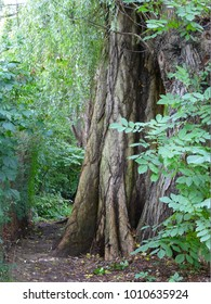 Photo of a wide brown trunk an old willow tree