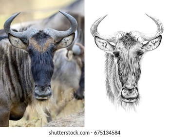 Photo of a widebeest portrait and portrait drawn with a pencil