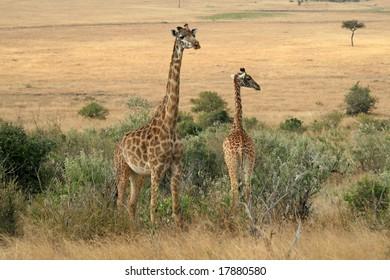 Photo of a Wild Giraffe in an Africa landscape