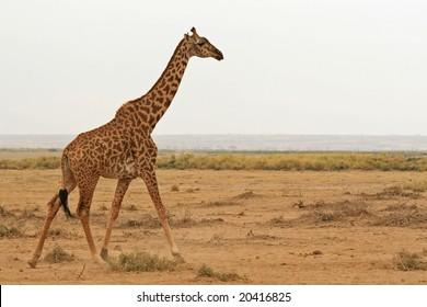 Photo of a Wild Giraffe walking in Africa