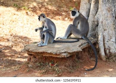 Photo of wild monkeys sitting, wildlife photography, fauna of Asia