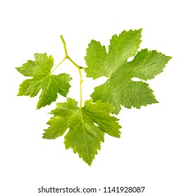 A photo of a wine vine, vitis vinifera, isolated on a white background, with a clipping path
