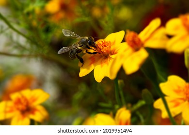Photo of yellow flower and bumblebee pollinating, close-up photo of insect and a flower