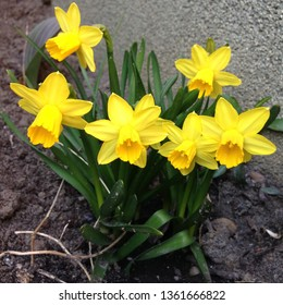 Photo of yellow flowers narcissus. Background Daffodil narcissus with yellow buds and green leaves.