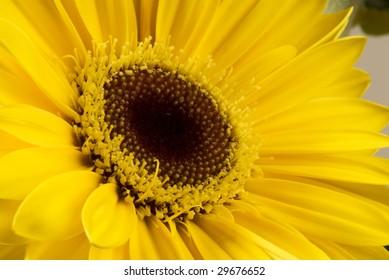 Photo of a yellow Gerbera Daisy