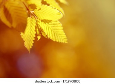 Photo of yellow leaves illuminated by the sun on an autumn day