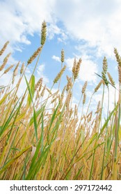 Photo of yellow wheat growing in a farm field