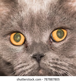 In the photo you see the face of a cat of a British breed close up.