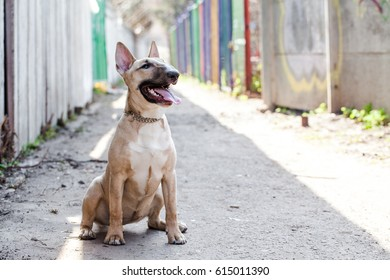 Photo of young Female bull terrier dog sitting at ground  in narrow passage with surrounding bokeh background. Dog wearing dog dress