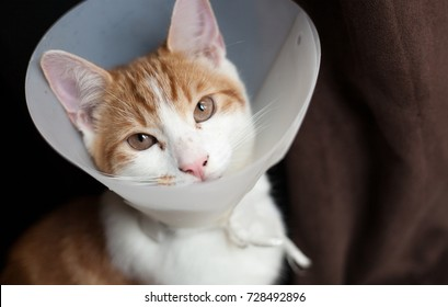 photo of a young ginger tomcat in a plastic Buster collar