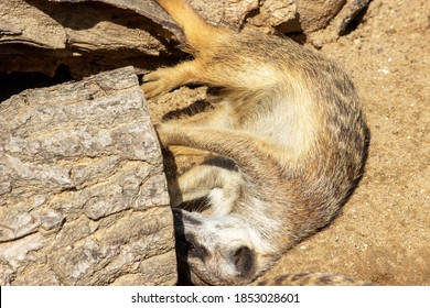 Photo of a young meerkat lying on its side scratching a tree