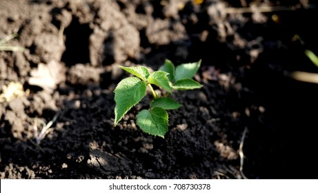 Photo of a young plant of raspberry with green leaves growing on brown soil. Raspberry sprout.