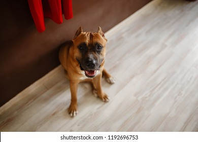 Photo of young pretty home dog. American Staffordshire Terrier, pit bull terrier