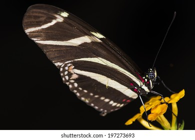 Photo of a Zebra Longwing (Heliconius charitonius) butterfly of the Nymphalidae family.