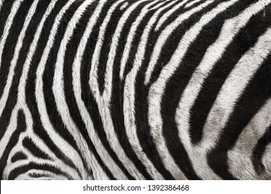 Photo of the Zebra Skin Fur Texture Background